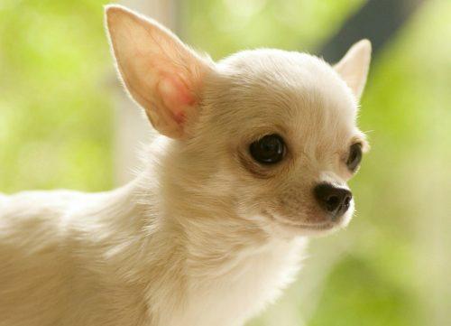 картинки собаки чихуахуа