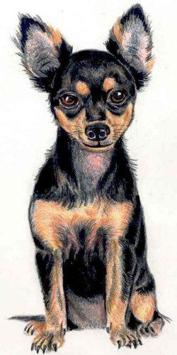 картинки собаки чихуахуа4