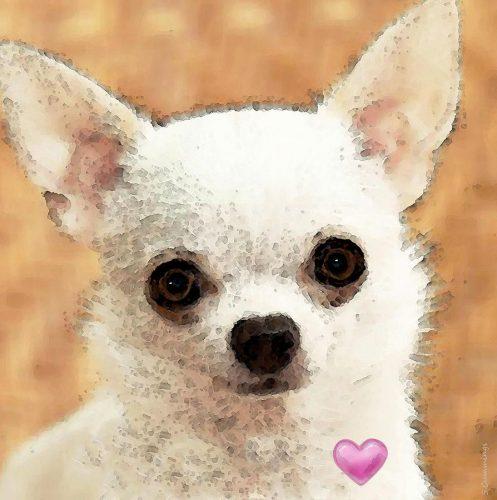 картинки собаки чихуахуа5