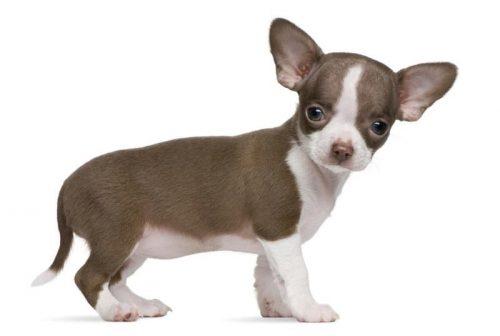 картинки собаки чихуахуа6