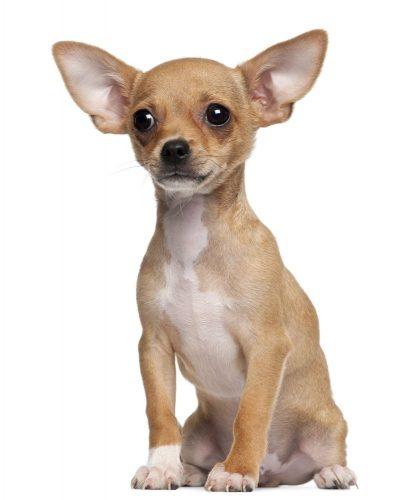 картинки собаки чихуахуа7