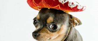 картинки собаки чихуахуа8
