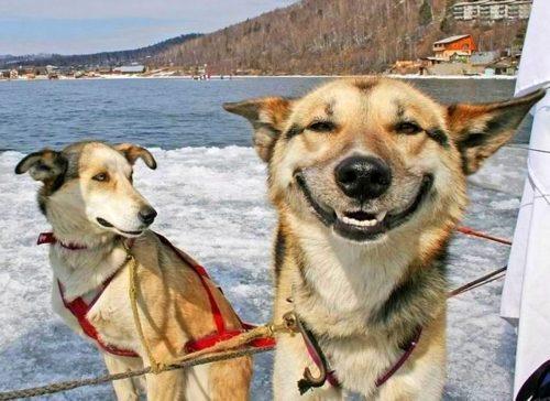 собака улыбка картинки6