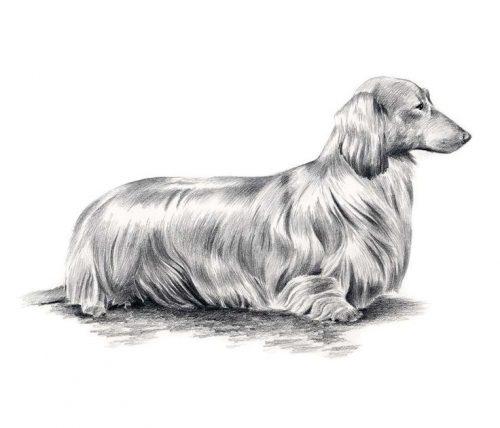 рисунок собаки карандашом11