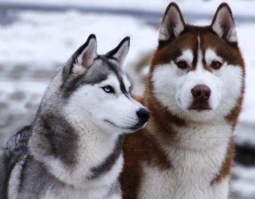 картинки собаки хаски