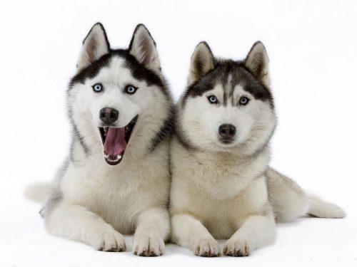 картинки собаки хаски2