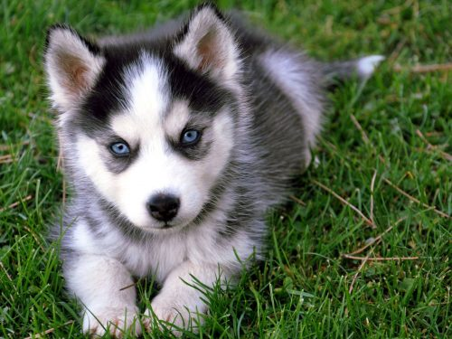 картинки собаки хаски4