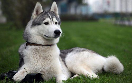 картинки собаки хаски5