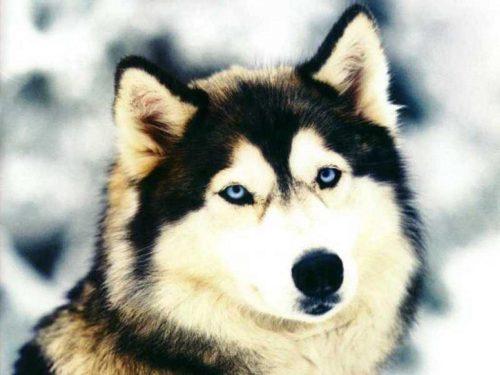 картинки собаки хаски6