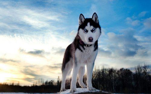 картинки собаки хаски7