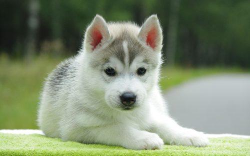 картинки собаки хаски8