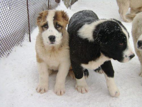 картинки собаки алабай2