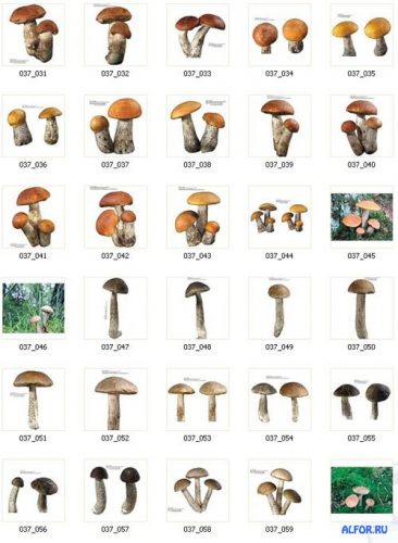 картинки грибов с названиями3