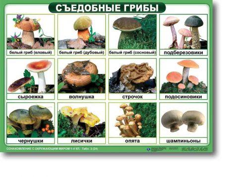 съедобные грибы для детей1