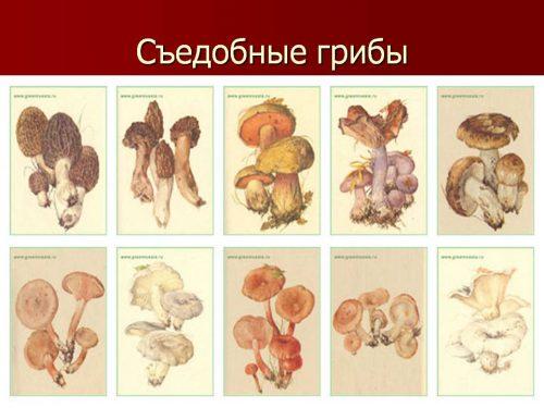съедобные грибы для детей2