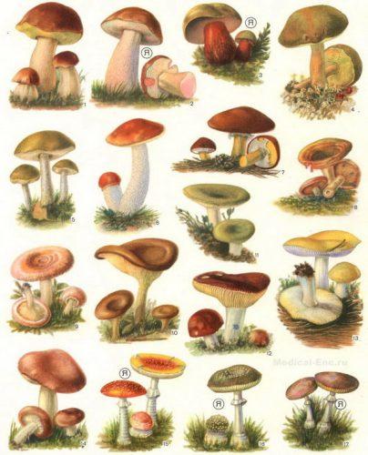 картинки грибов с названиями