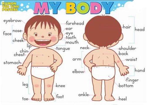 части тела человека на английском языке