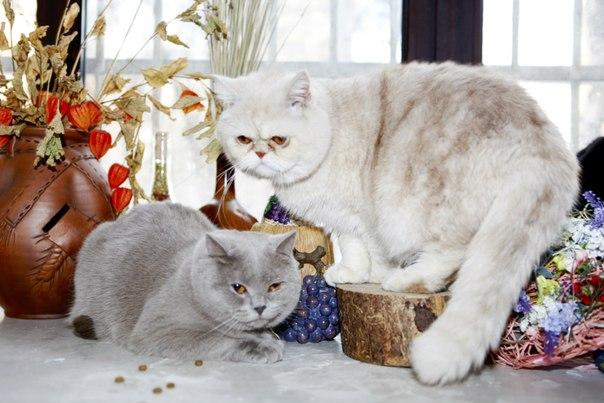 Солод кафе с кошками