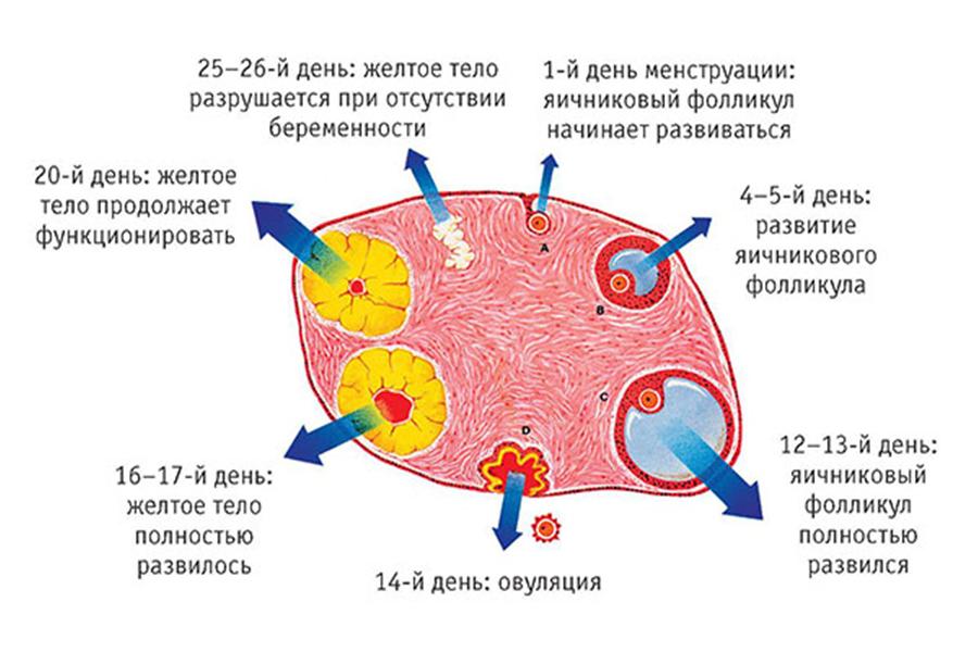 базальная температура при беременности3
